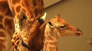 Dobby the baby giraffe makes an appearance Video - ABC News