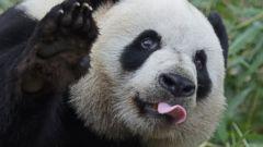 Panda Tries in Vain to Get An Apple