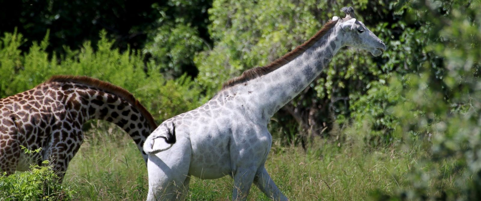 PHOTO: Omo the white giraffe is seen here in Tarangire National Park in Tanzania, Africa, Jan. 17, 2016.