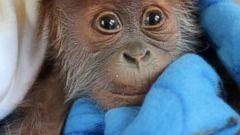 Cuddly Orangutan Poses for the Camera