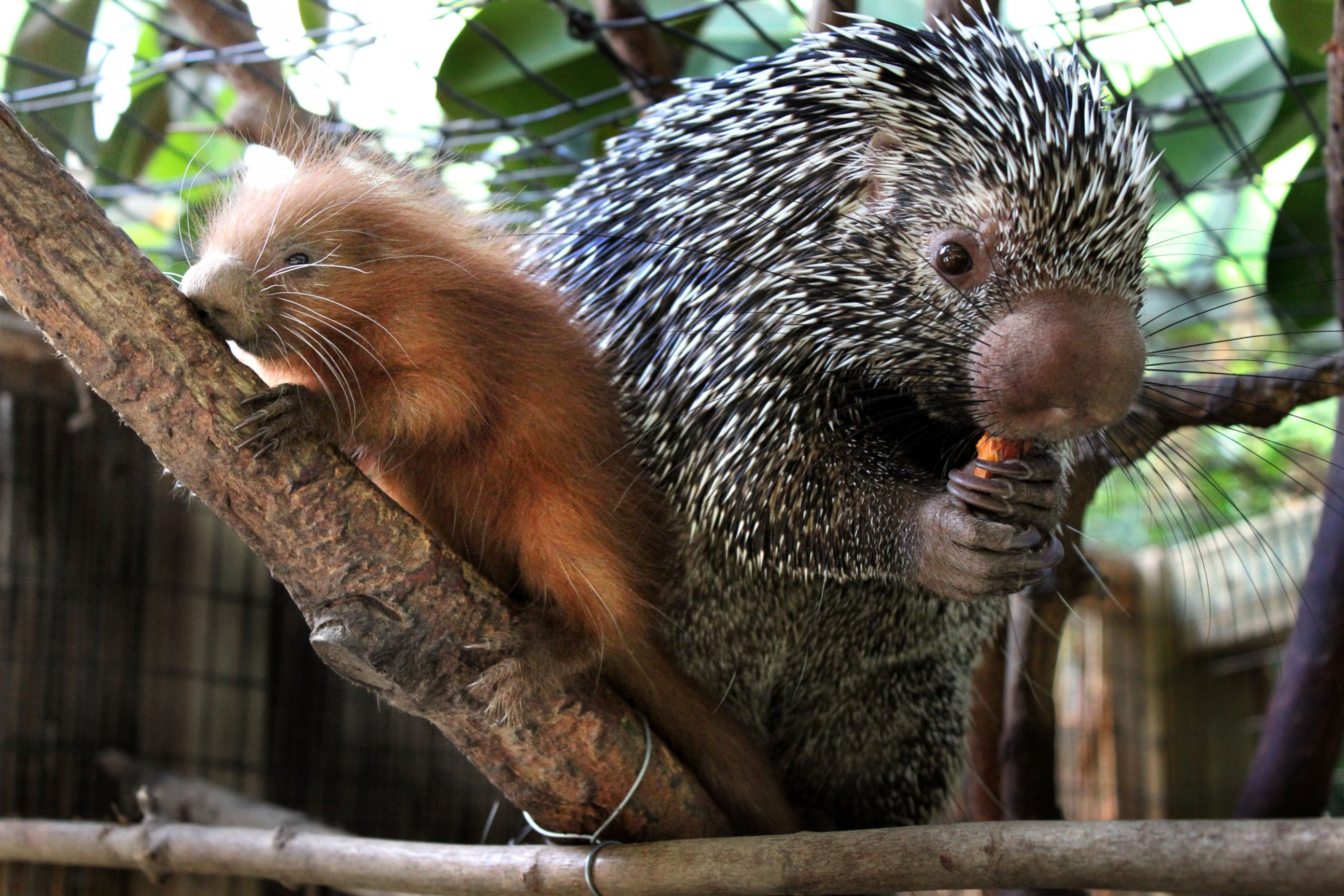 Baby Porcupine Hangs Out With Mom