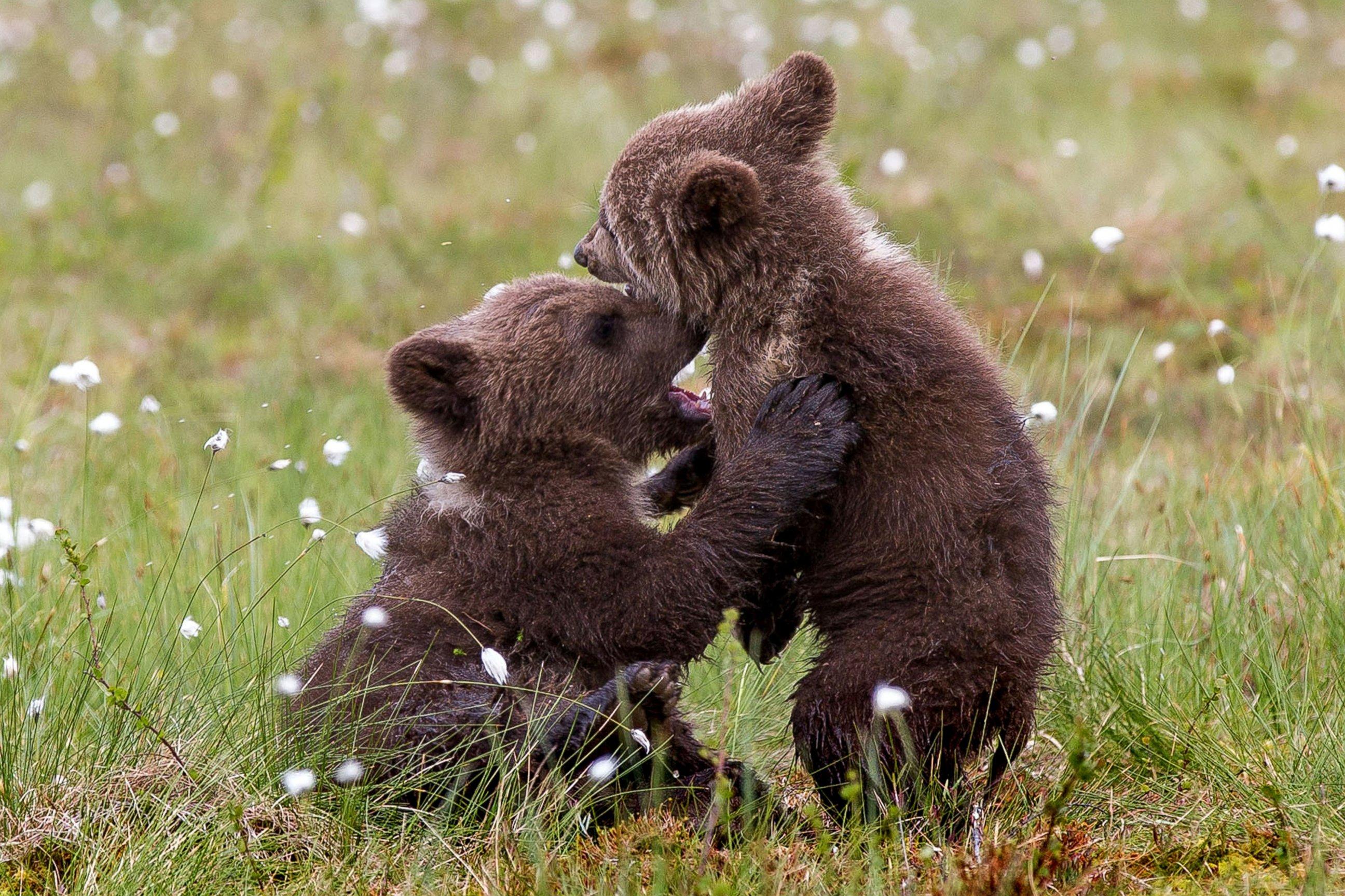 Adorable Cubs Have A Bear Hug!