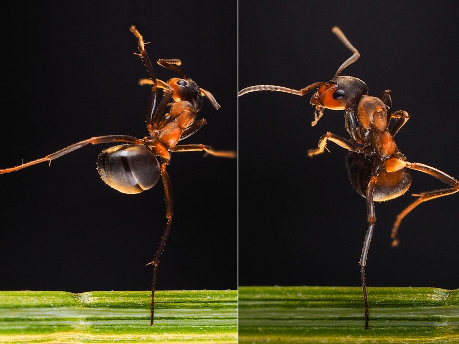Are these ants dancing?