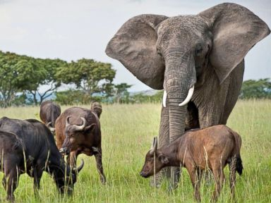 Photos: Herd of Buffalo Adopt Orphaned Elephant