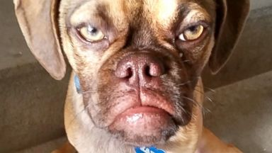 PHOTO: Pictured is Grumpy Earl the dog. The peeved pup went viral when a picture of him sporting his best sullen expression was posted on Reddit and quickly gained more than two million views.