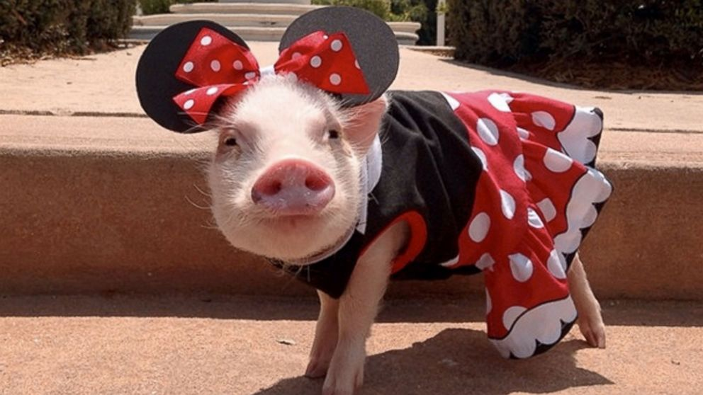 Image result for dressed pigs