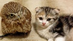 Meet the Owl and Kitten Who are Best Friends