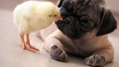 Chick Gives Pug a Peck on the Nose