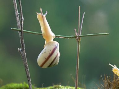No Pain, No Gain! Snail Does A Chin-Up