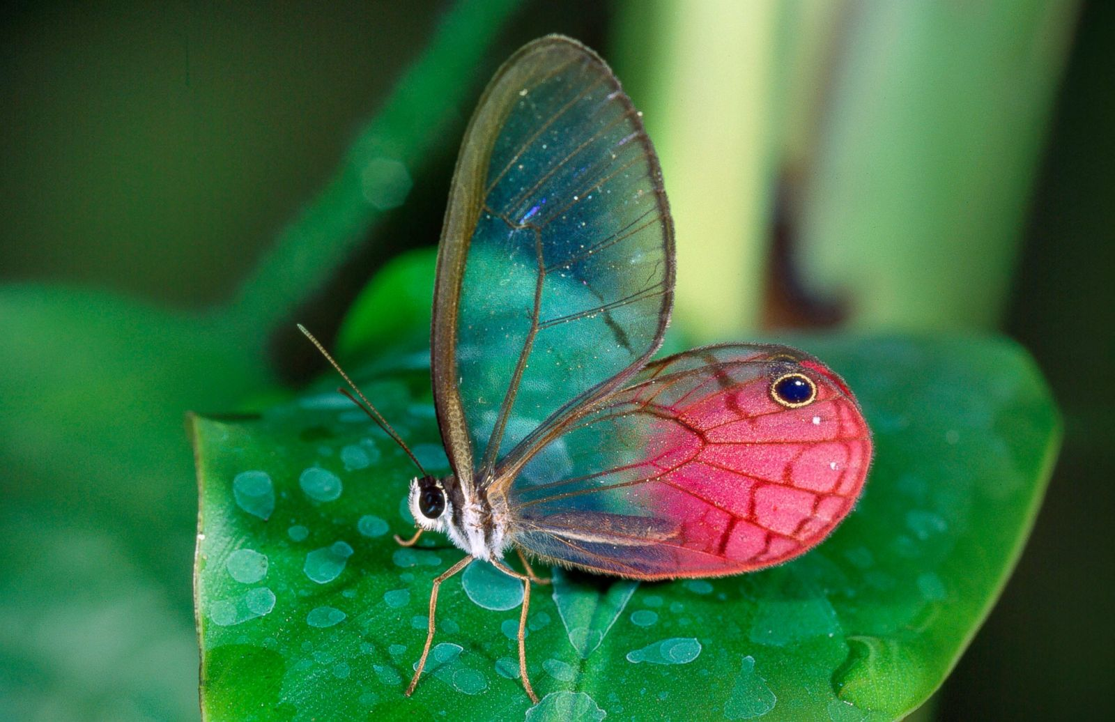 Glasswing Butterfly Picture Amazing Animals From Around