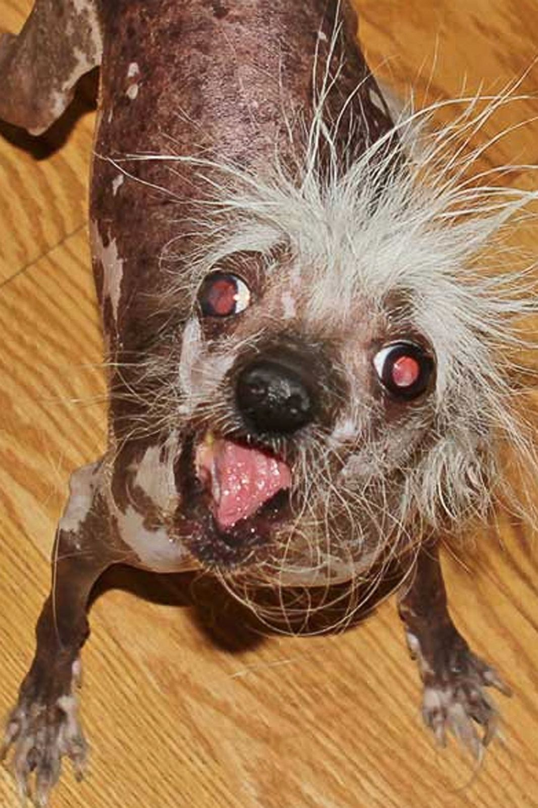 Meet the 'World's Ugliest Dog' Photos | Image #12 - ABC News