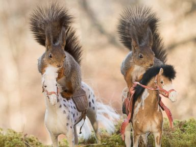 Squirrels Posing on Toy Horses Is Indeed a Real Thing