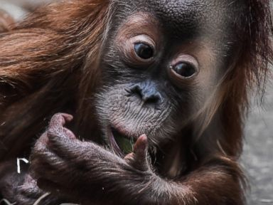 An adorable baby orangutan looks on in a zoo