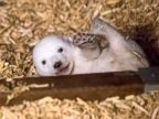 Baby Polar Bear Hangs out at the Zoo