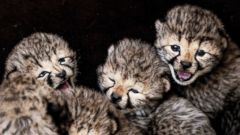 Cheetah cubs hang out at Safaripark