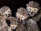 Cheetah cubs hang out at Safaripark