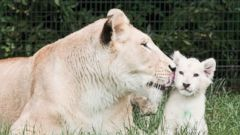 White Lion Cleans Her Cub