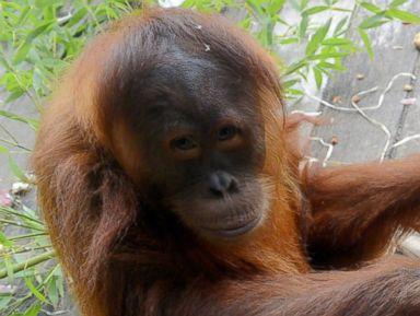Baby Orangutan Celebrates Moms Birthday