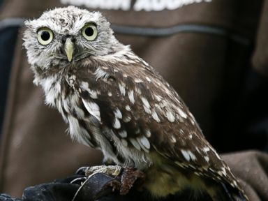 A Baby Owl Poses for the Camera