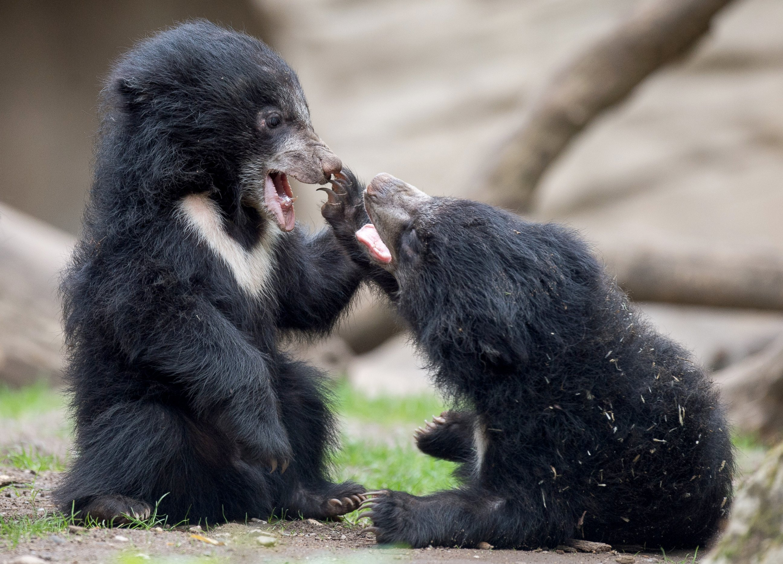 Two Sloth Bear Cubs Share a Laugh