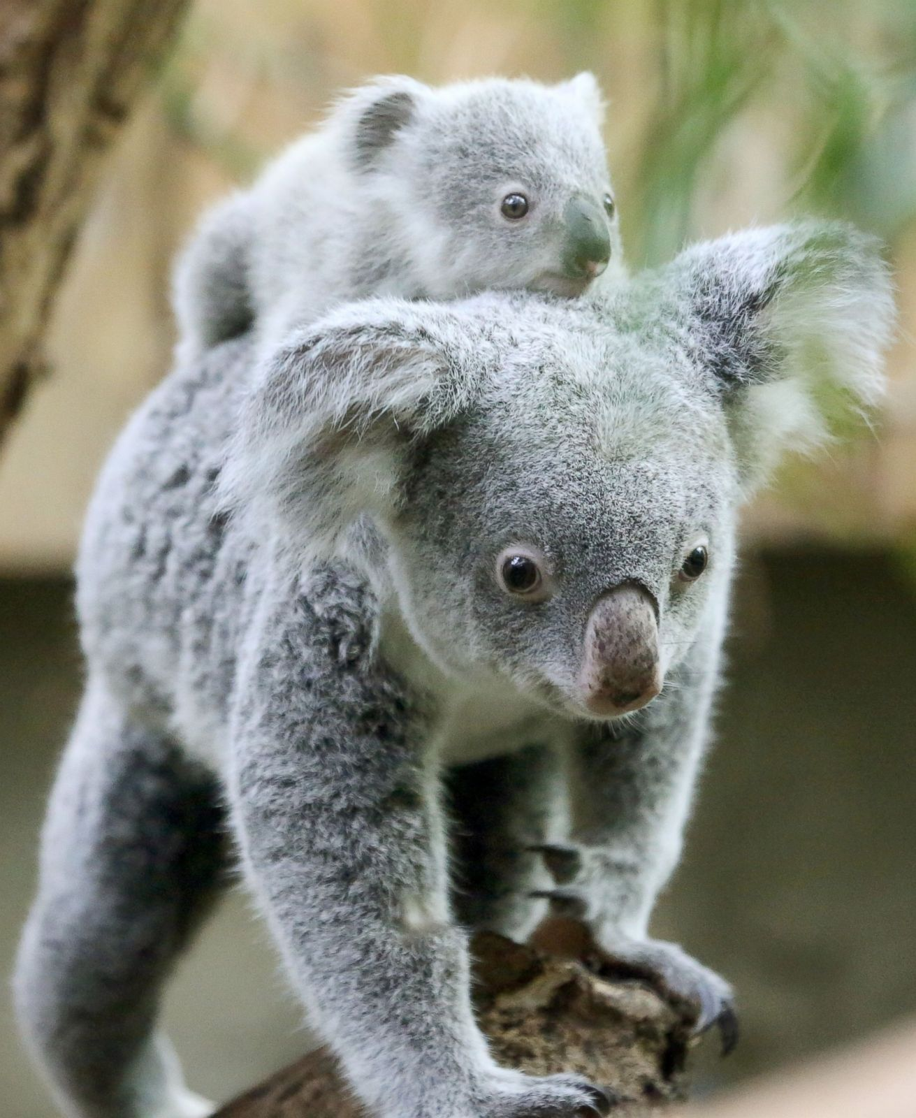 Koala Baby Gets A Piggyback Ride Picture Cutest Baby