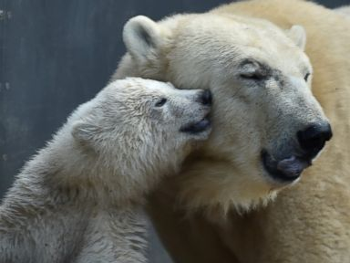 Mama bear gets a kiss from her cub