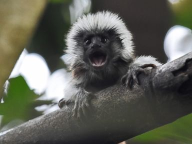 A baby tamarin hangs out at the zoo