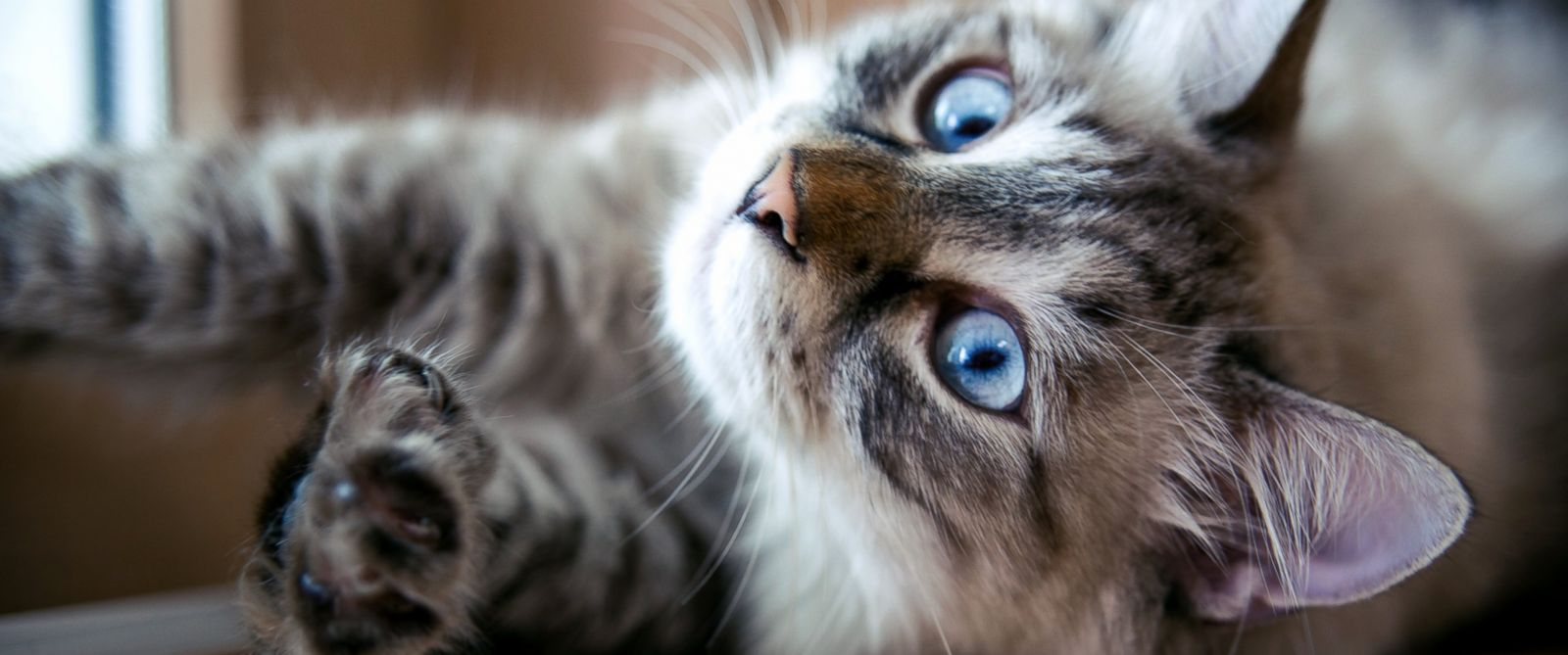 PHOTO: New York could be the first state to ban declawing of all types of cats.
