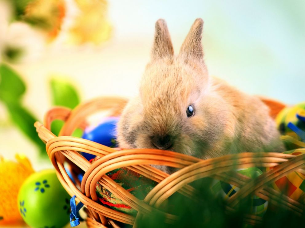 PHOTO: Easter bunny sitting in a wicker basket.