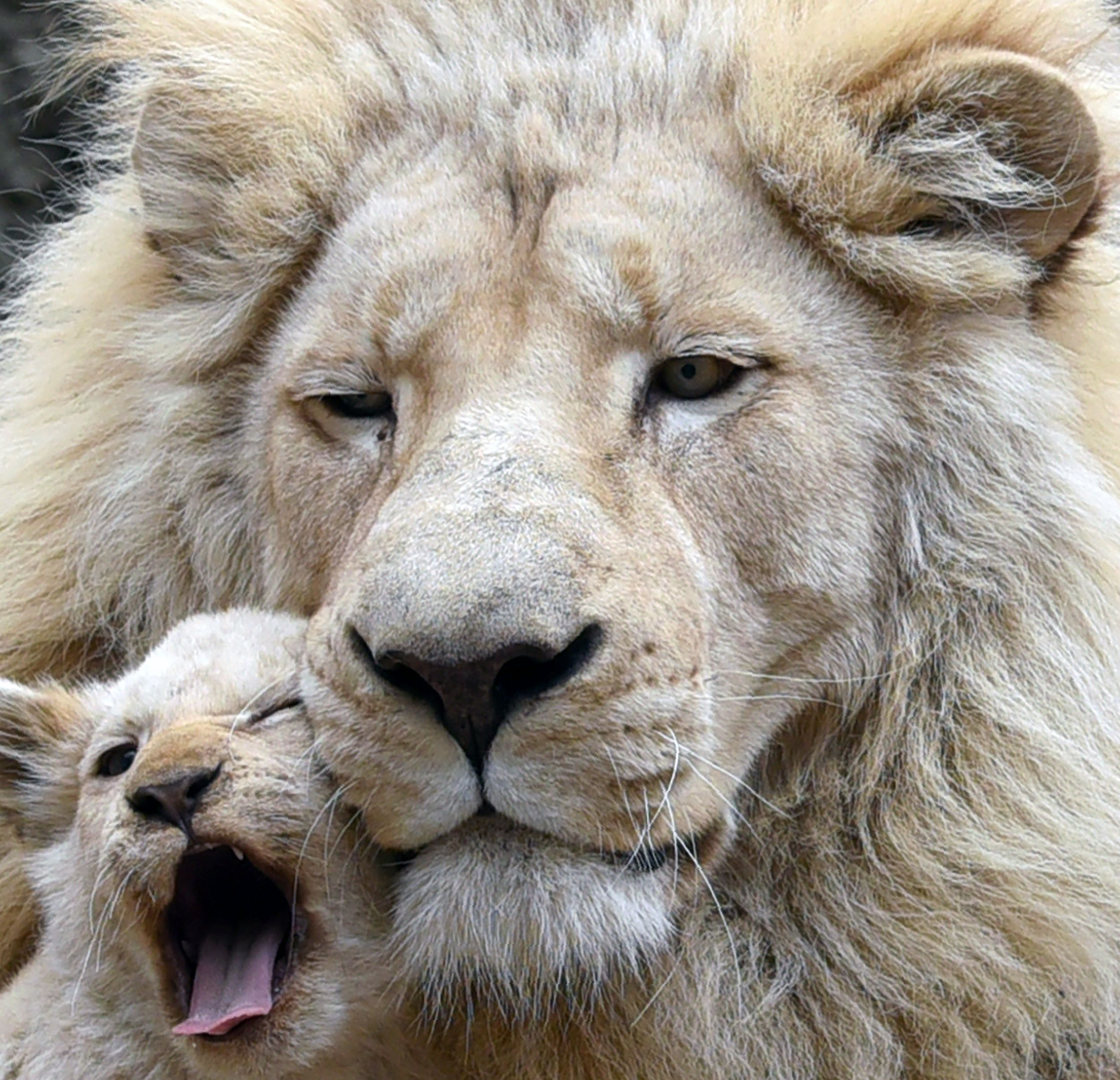 Lion Cub Gets Cozy With Its Father