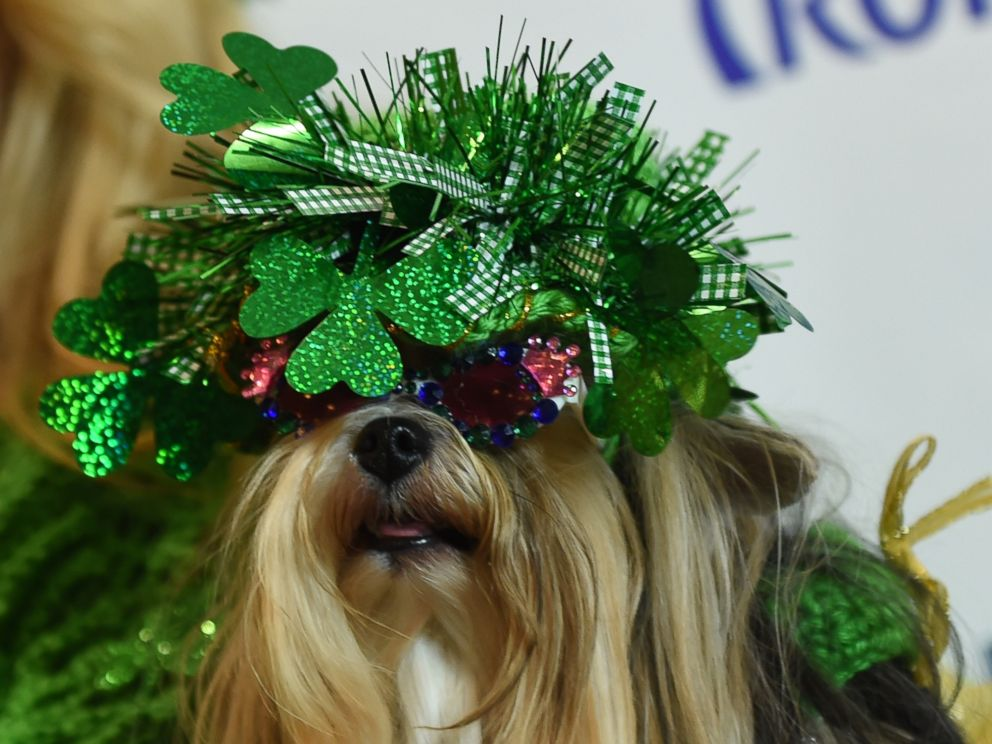 PHOTO: A dog dressed in the fashion of Ireland poses during the 14th Annual New York Pet Fashion Show, Feb. 9, 2017.