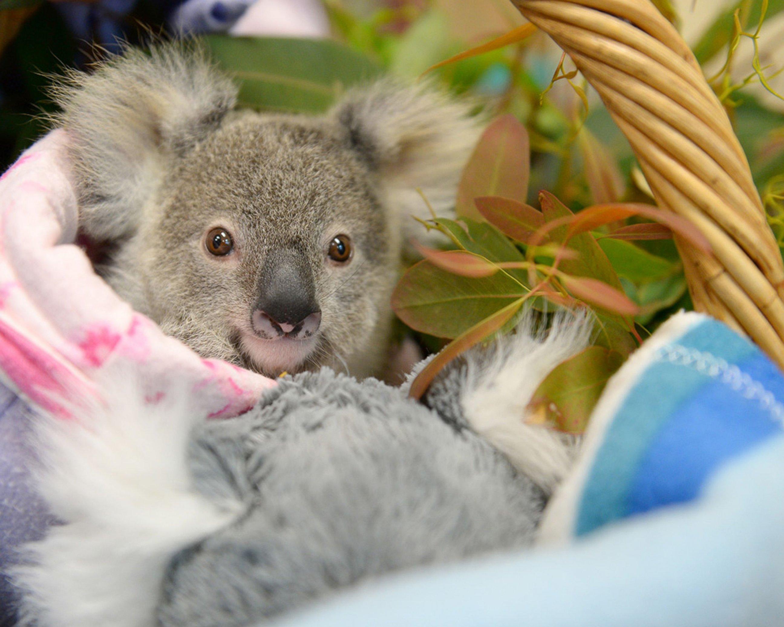 An Orphaned Baby Koala Cuddles a Fluffy Toy Koala