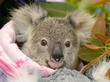 An Orphaned Baby Koala Cuddles a Fluffy Toy Koala