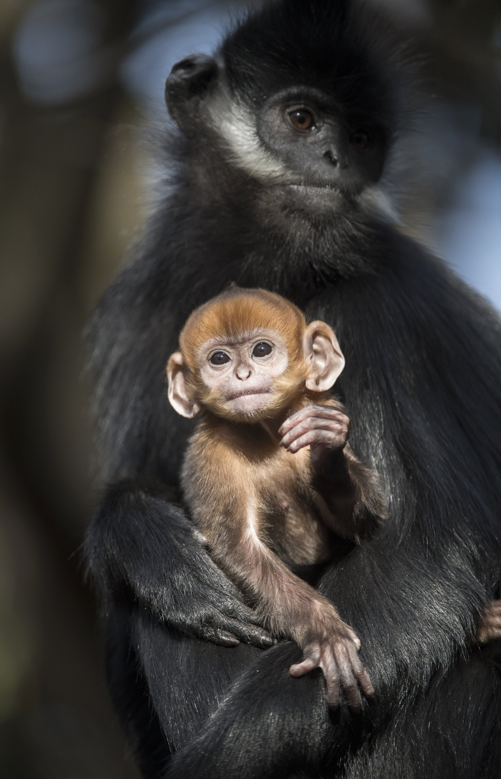 Rare Baby Francois Langur Monkey in Her Mothers Arms