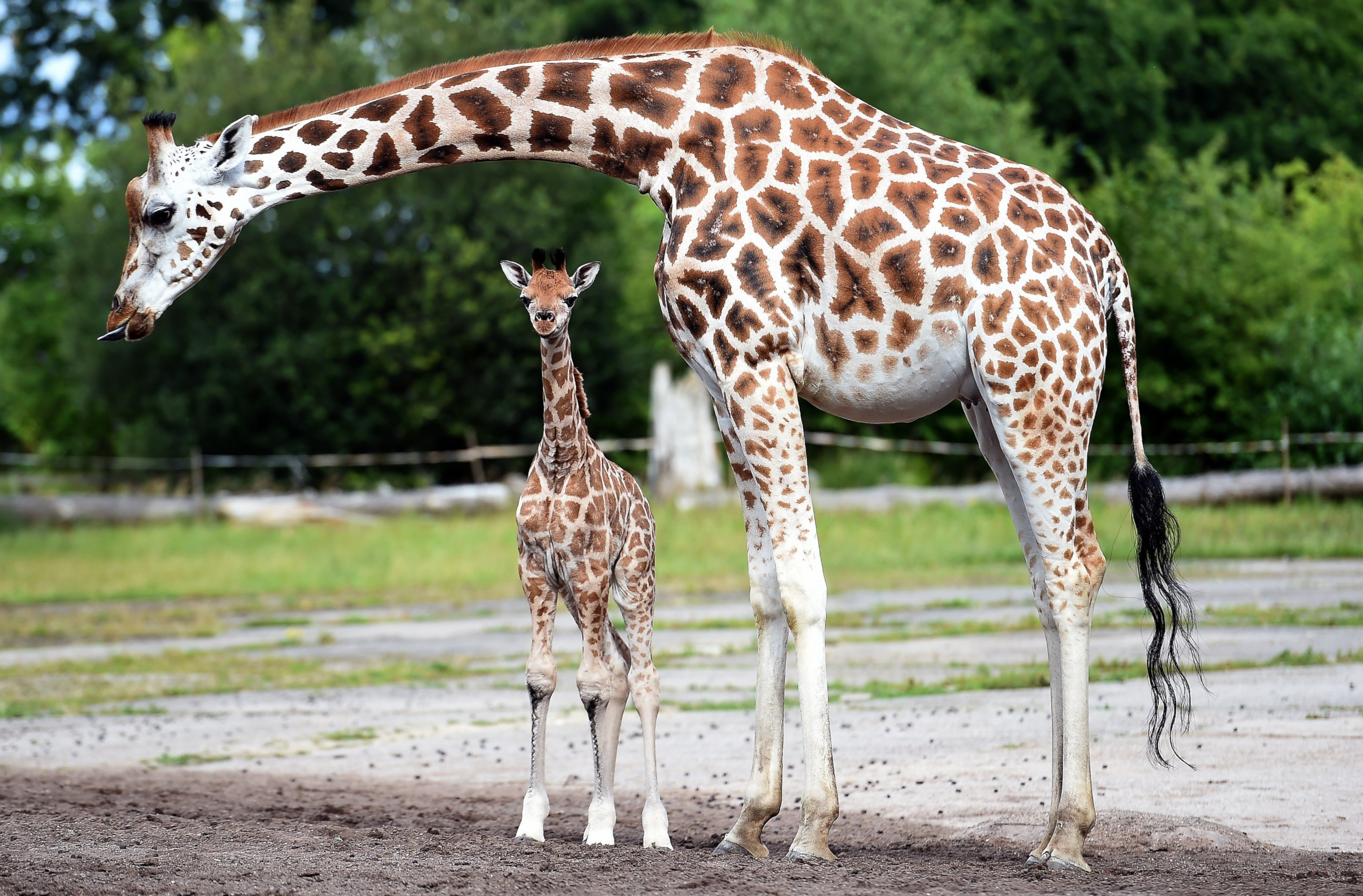 Baby Girafe Debuts in England