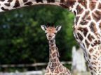 Baby Giraffe Debuts in England