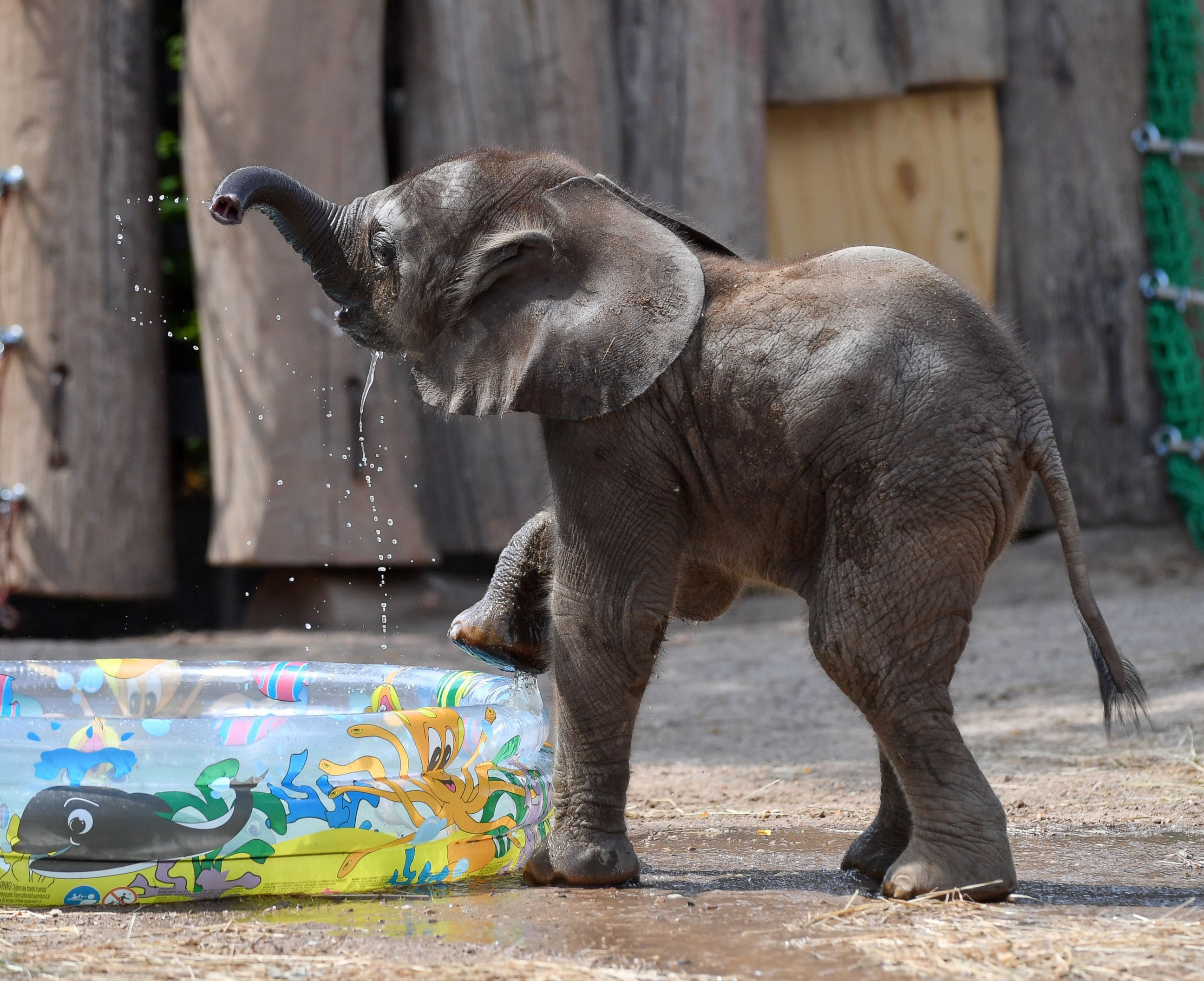 Baby Elephant Plays With Water