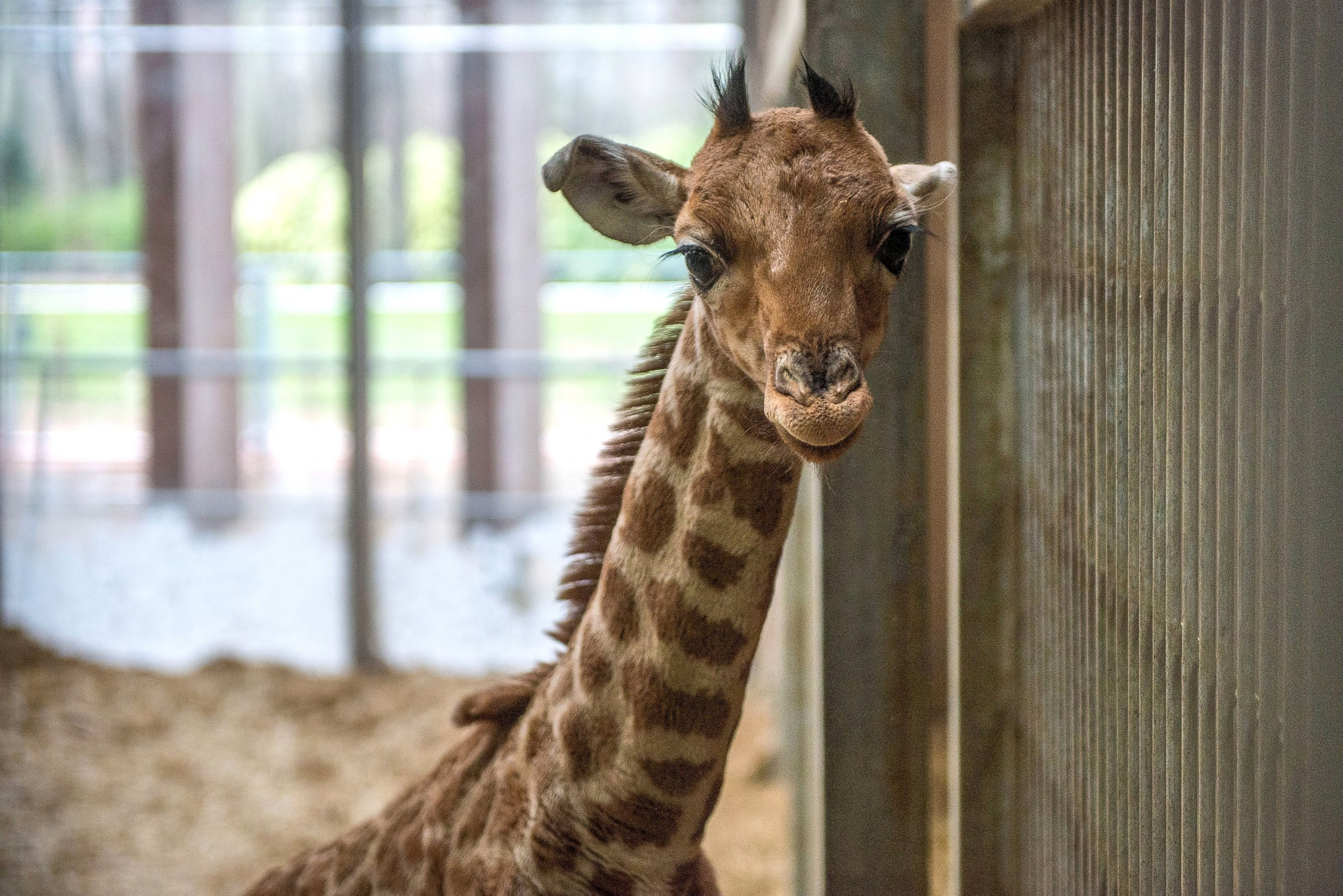 Baby Giraffe Sticks His Neck Out for the First Time