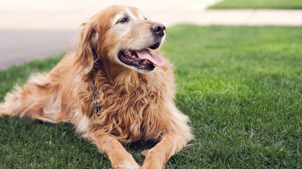 Senior Dog Drinking Excessive Water