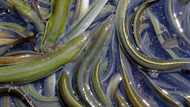 GTY eels ml 131108 16x9 608 Exfoliation via Eel Bath: Would You Take the Plunge?