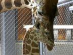 Momma Giraffe Bonds With Her Newborn Son