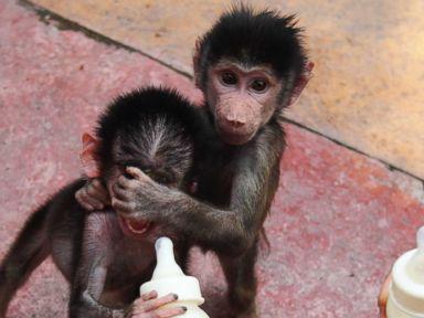 Baby Sister Baboons Play Peekaboo