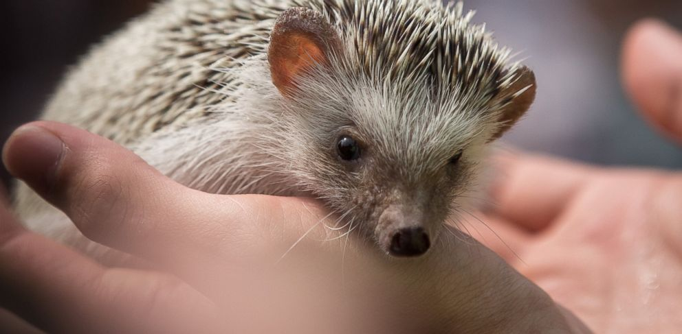 PHOTO: The popularity of keeping hedgehogs as pets has increased, in part, due to websites on the Internet devoted to cute animals.