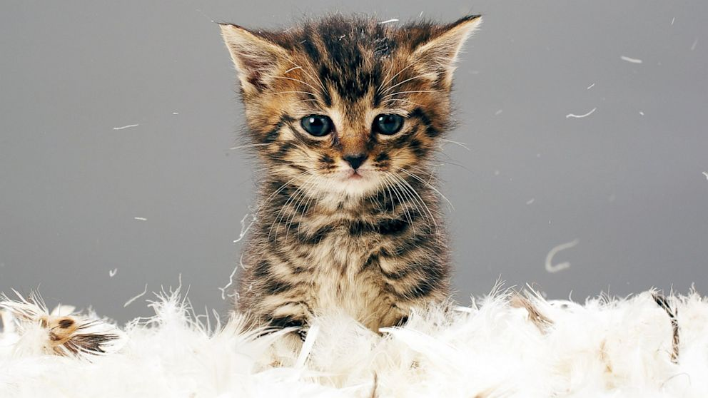 PHOTO: Kitten surrounded by feathers.