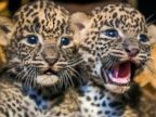 Two Cuddly Leopard Cubs Chill Out
