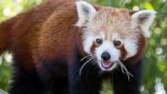 Red Panda Hangs on a Limb