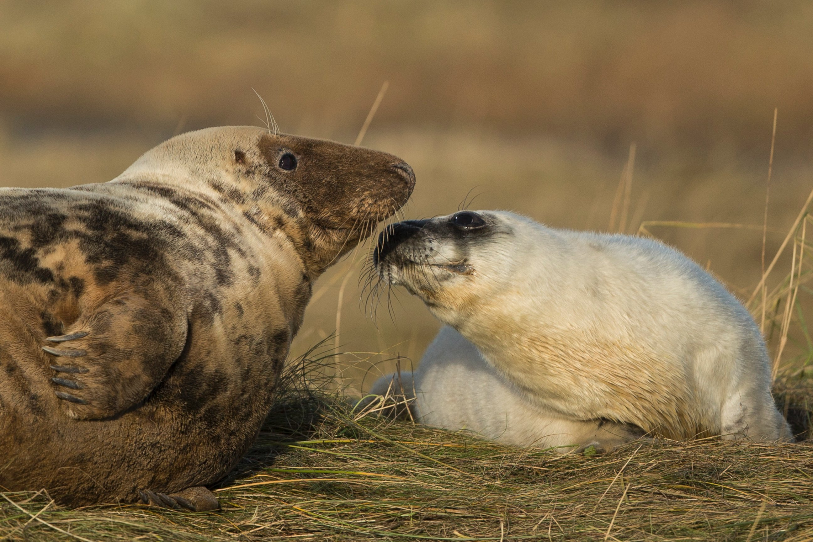 Mother, Seal Pup Relax in the Grass