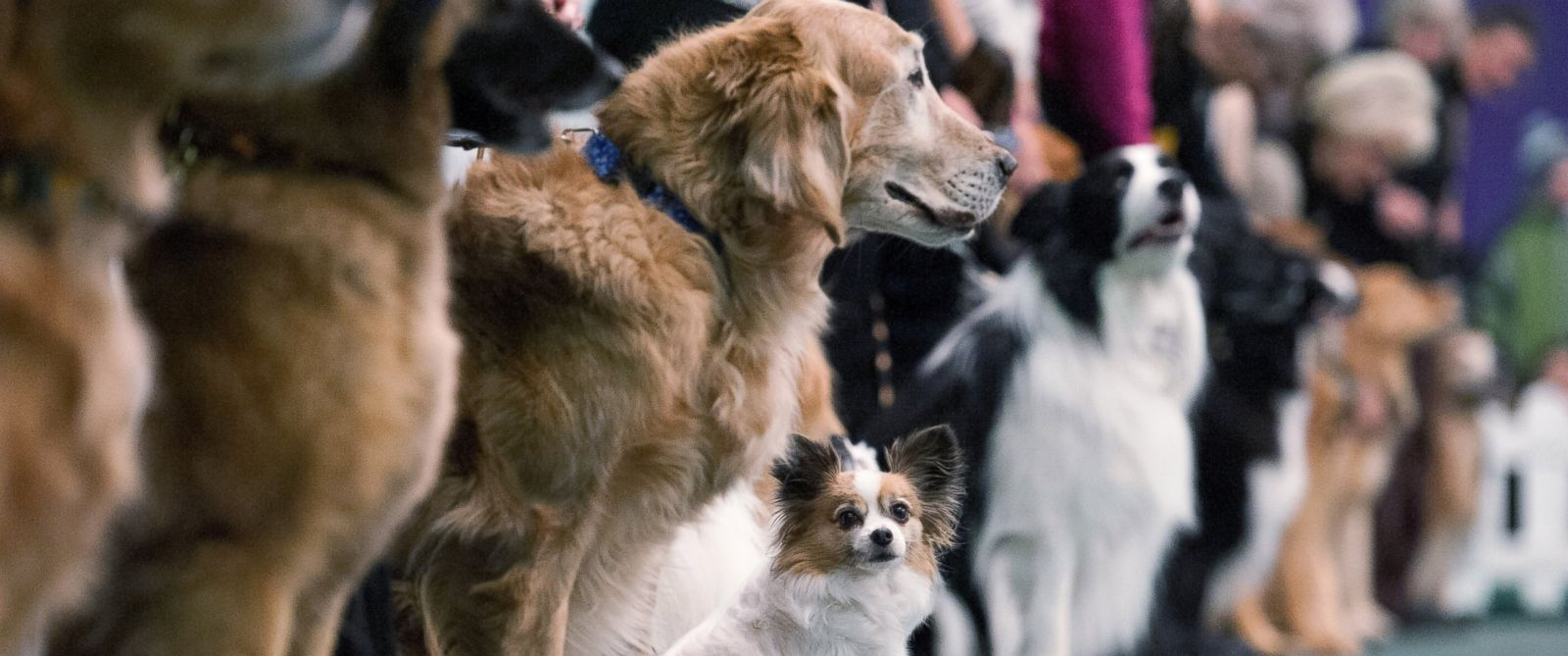 PHOTO: Dogs compete in the obedience competition line up for judges during the annual Westminster Kennel Club dog show at Madison Square Garden, Feb. 15, 2016, in New York City.