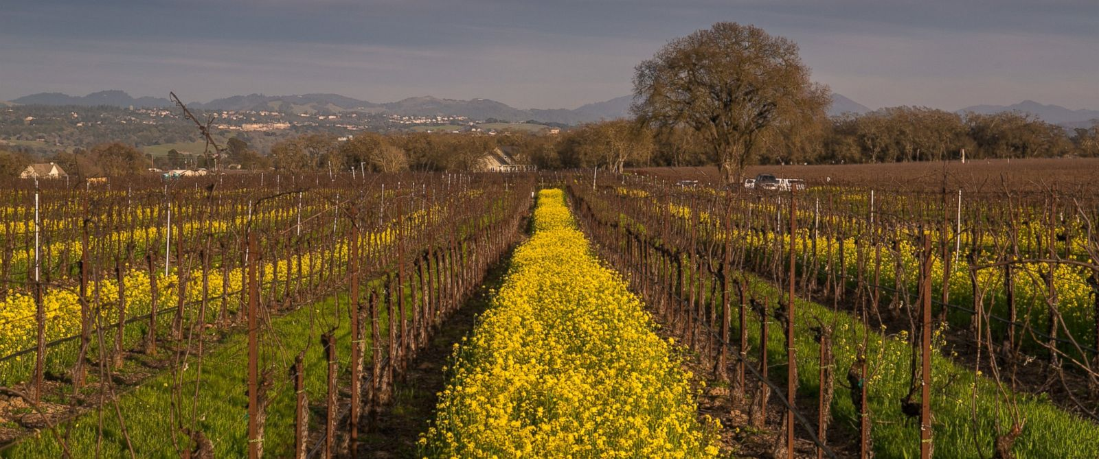 PHOTO: Yellow mustard sprouts after recent rains in dormant vineyards Feb. 11, 2016, near Healdsburg, Calif.