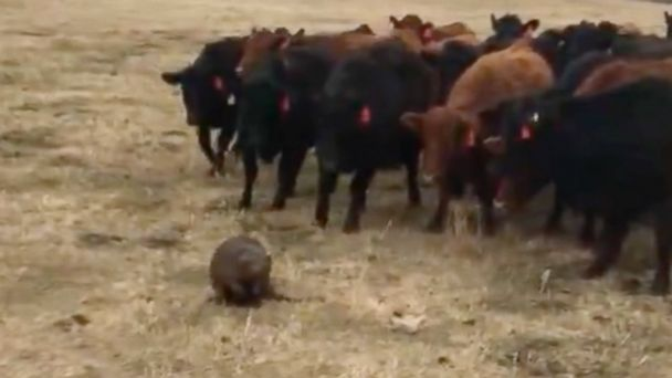 PHOTO: A beaver led a herd of curious cattle in Ituna, Saskatchewan, Canada, on April 14, 2017.